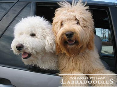 Colonial Village Labradoodles Top Indiana Labradoodle Breeder With