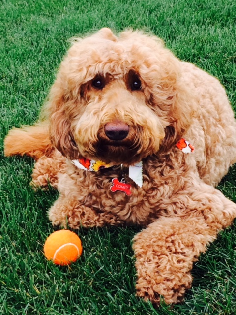 Caring For Your Puppy Colonial Village Labradoodles